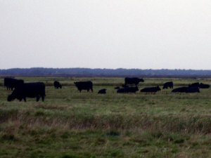 Cows near Berney Arms