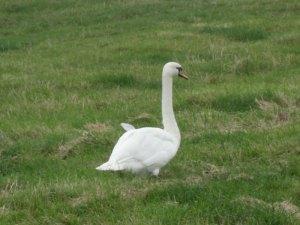 Swan near Berney Arms
